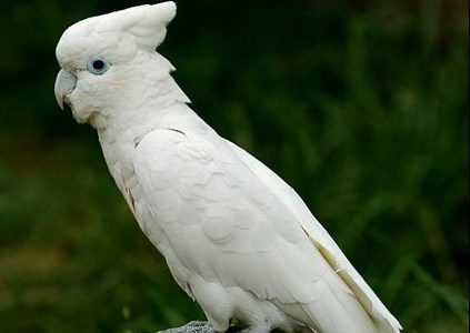 cacatua-salomon